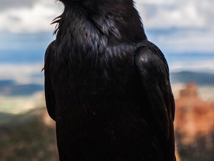 crow-828944_1920