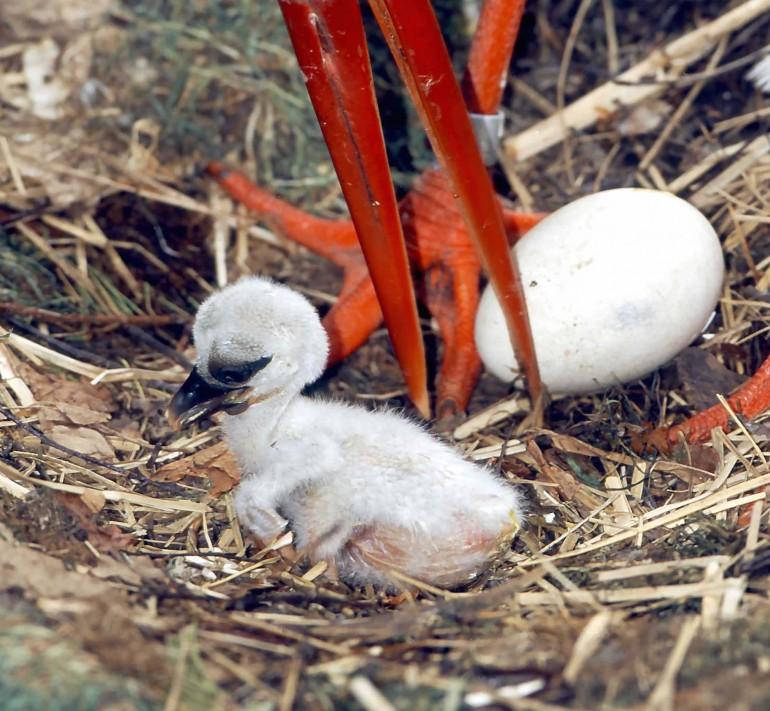 Weissstorch mit Jungen am Nest